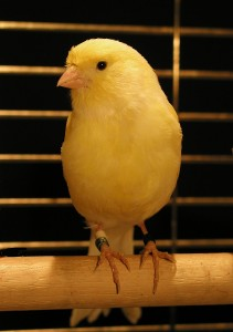 canary-211x300